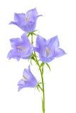 Den härliga blommande blåklockablomman är på den vita backgrouen Arkivbild