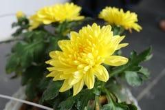Den härliga blommande gula blomman royaltyfria foton