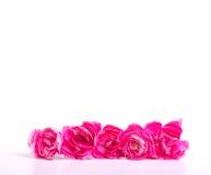 Den härliga blommande rosa nejlikan blommar på en vit bakgrund Fotografering för Bildbyråer