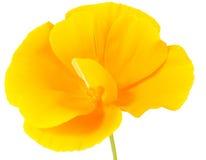 Den härliga blommavallmo Royaltyfri Bild