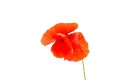 Den härliga blommavallmo växer i den lösa naturen Royaltyfria Foton