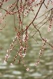 den härliga blomningen blommar persikan Fotografering för Bildbyråer