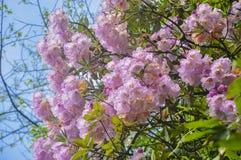 Den härliga blomstra platåazalean blommar i vår Fotografering för Bildbyråer