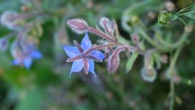 den härliga blueclosen blommar upp Fotografering för Bildbyråer