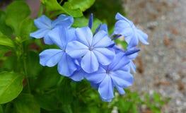 den härliga blueclosen blommar upp Arkivbild