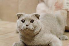 Den härliga brittiska blåa slokörade katten ligger på soffan hemma Blå skotsk veckkatt brittisk kattshorthair royaltyfria foton