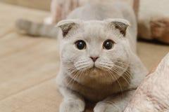 Den härliga brittiska blåa slokörade katten ligger på soffan hemma Blå skotsk veckkatt brittisk kattshorthair arkivbilder