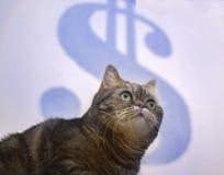 Den härliga brittiska katten försöker att fånga det Dolar begreppet av framgång, affärsstrategi royaltyfria bilder