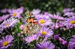 Den härliga brokiga fjärilen samlar nektar på en knopp av astraen Arkivfoto