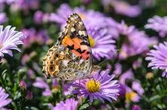 Den härliga brokiga fjärilen samlar nektar på en knopp av astraen Royaltyfri Fotografi