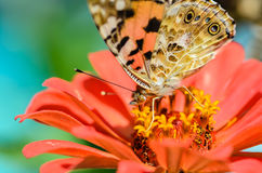 Den härliga brokiga fjärilen samlar nektar på en knoppblomma Arkivbilder