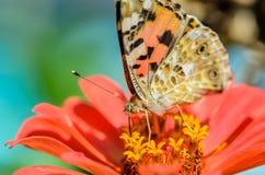 Den härliga brokiga fjärilen samlar nektar på en knoppblomma Royaltyfri Bild
