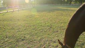 Den härliga bruna hästen som äter frodigt gräs på lantgården, betar, djur avel lager videofilmer