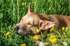 Den härliga bruna hunden luktar en blomma Arkivfoto
