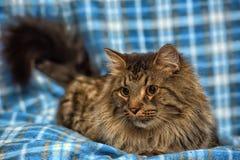 den härliga bruna Siberian katten ligger på en blått Royaltyfri Bild