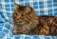 den härliga bruna Siberian katten ligger på en blått Arkivfoton