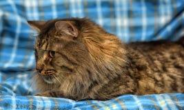 den härliga bruna Siberian katten ligger på en blått Arkivfoto