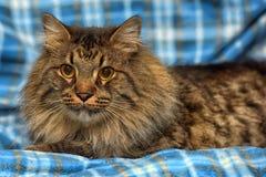 den härliga bruna Siberian katten ligger på en blått Royaltyfria Bilder