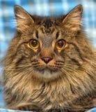 den härliga bruna Siberian katten ligger på en blått Royaltyfri Foto