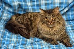 den härliga bruna Siberian katten ligger på en blått Royaltyfri Fotografi