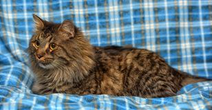den härliga bruna Siberian katten ligger på en blått Arkivbilder