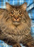 den härliga bruna Siberian katten ligger på en blått Fotografering för Bildbyråer