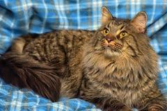 den härliga bruna Siberian katten ligger på en blått Royaltyfria Foton