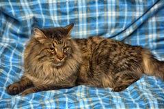 den härliga bruna Siberian katten ligger på en blått Arkivbild