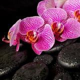 Den härliga brunnsortinställningen av att blomma fattar den avrivna violetta orkidén Royaltyfri Foto