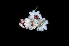 Den härliga buketten av den vita jasmin blommar på en svart Fotografering för Bildbyråer