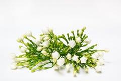 Den härliga buketten av vita spirande gardeniajasminoides blommar Arkivfoton