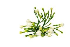 Den härliga buketten av vita spirande gardeniajasminoides blommar Arkivbilder