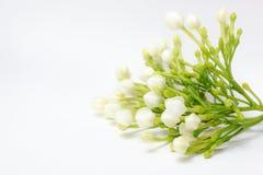 Den härliga buketten av vita spirande gardeniajasminoides blommar Arkivfoto