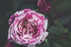 Den härliga busken blommar, röd vit gjorde randig trädgårds- rosor i aftonljuset på en mörk bakgrund för kalendern Arkivbild