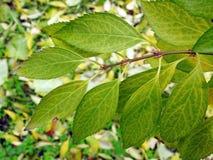 Den härliga busken lämnar i hösten, Litauen royaltyfri foto