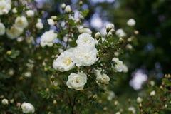 Den härliga busken med vita blommor av löst engelska steg i trädgården, älskvärt landskap av naturen Arkivfoton