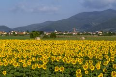 Den härliga bygden runt om Bientina, med solrosor och höbaler i sommarsäsongen, Pisa, Tuscany, Italien arkivfoton