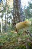 Den härliga champinjonen och döljer i den medelhavs- skogen Arkivbilder
