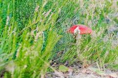 Den härliga champinjonen växer i den felika skogen för hösten Arkivfoton