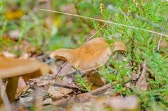 Den härliga champinjonen växer i den felika skogen för hösten Royaltyfria Foton