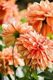 den härliga dahliaen blommar red Arkivbilder