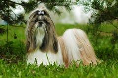 Den härliga dekorativa hundaveln Shih Tzu är i sommaren ut royaltyfria foton
