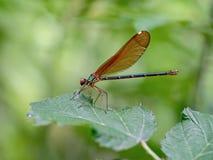 Den härliga demoisellen, den Calopteryx virgoen, är en europeisk damselfly som tillhör familjen Calopterygidae Kvinnlig på fotografering för bildbyråer