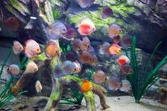Den härliga diskusen fiskar i vatten Arkivbilder