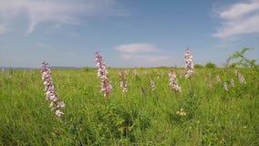 Den härliga dittanyen blommar i den brinnande busken för vår, Dictamnusalbus stock video