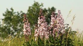 Den härliga dittanyen blommar i den brinnande busken för vår, Dictamnusalbus arkivfilmer