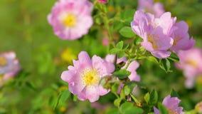 Den härliga dittanyen blommar i vårDictamnusalbusen stock video