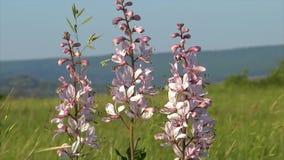 Den härliga dittanyen blommar i vårDictamnusalbusen arkivfilmer