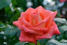 Den härliga doftande blommaträdgården steg Royaltyfria Foton