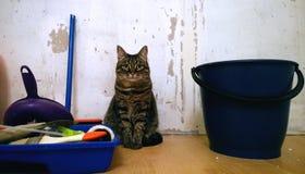 Den härliga eleganta katten sitter på golvet mot en vägg under renoveringen av lägenheten reparation Royaltyfria Bilder